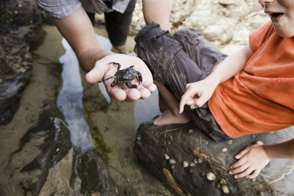 Children finding a crab whilst rock-pooling on the beach at Poldhu Cove on the Lizard Peninsula, Cornwall.